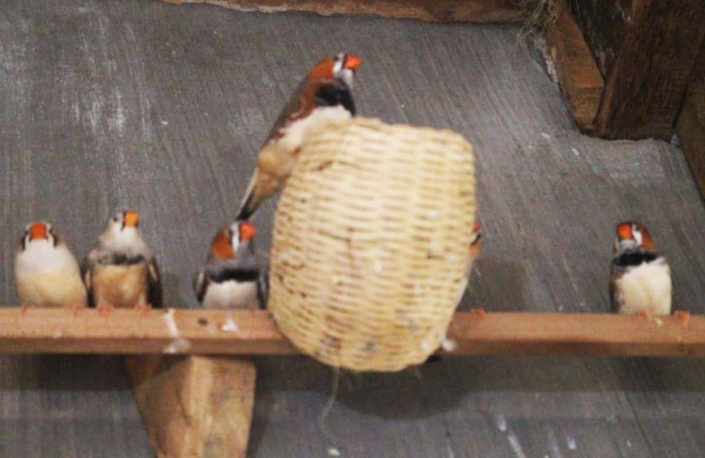 Emprit Jepang Burung Hama Yang Kini Jadi Primadona