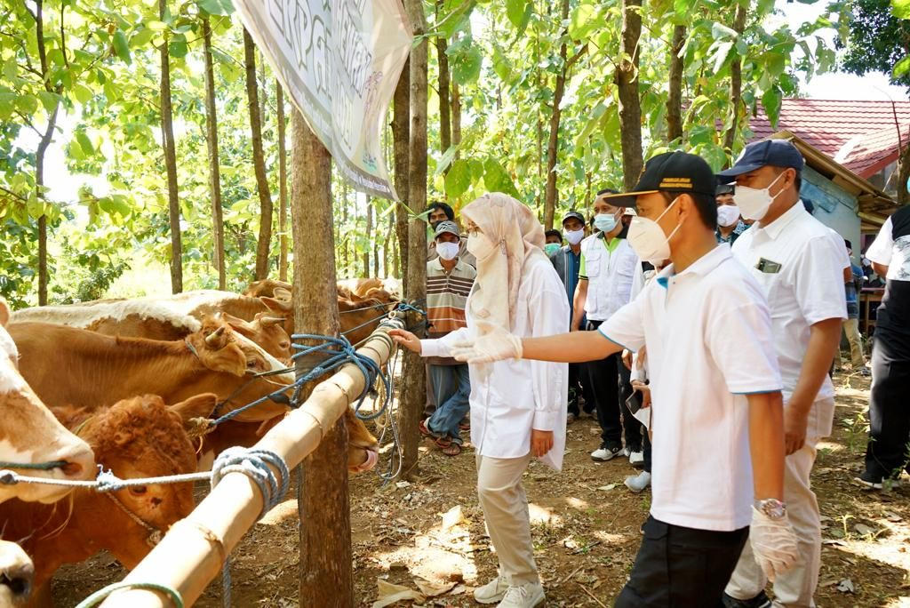 Bupati Banyuwangi, Ipuk Festiandani saat memantau program peternakan sapi untuk masyarakat di wilayah perkebunan