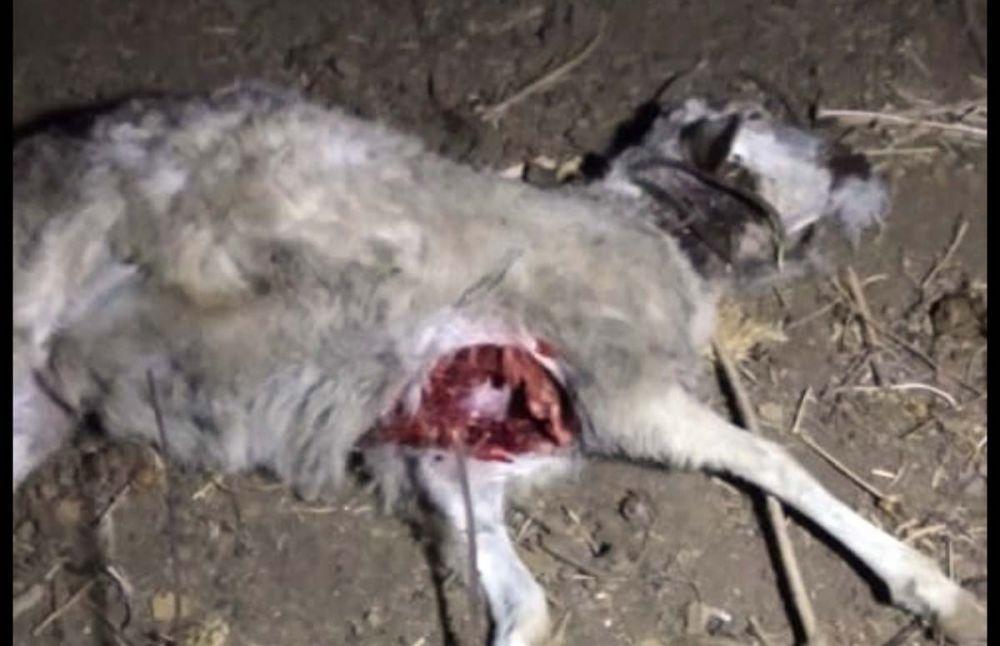 Salah satu kambing yang ditemukan mati dalam kondisi dada terkoyak di Ponorogo