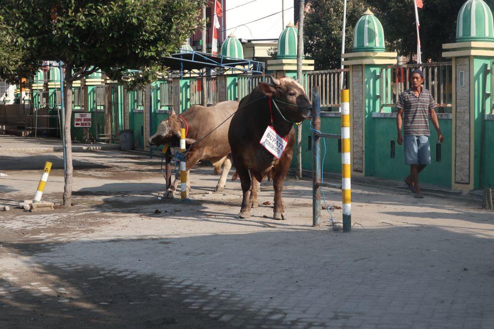 Penampakkan sapi yang dikurbankan Bupati Ipong