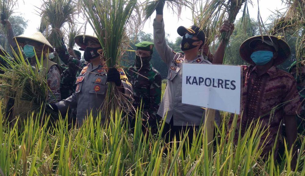 Panen raya padi hasil Kampung Tangguh Semeru di Mojokerto