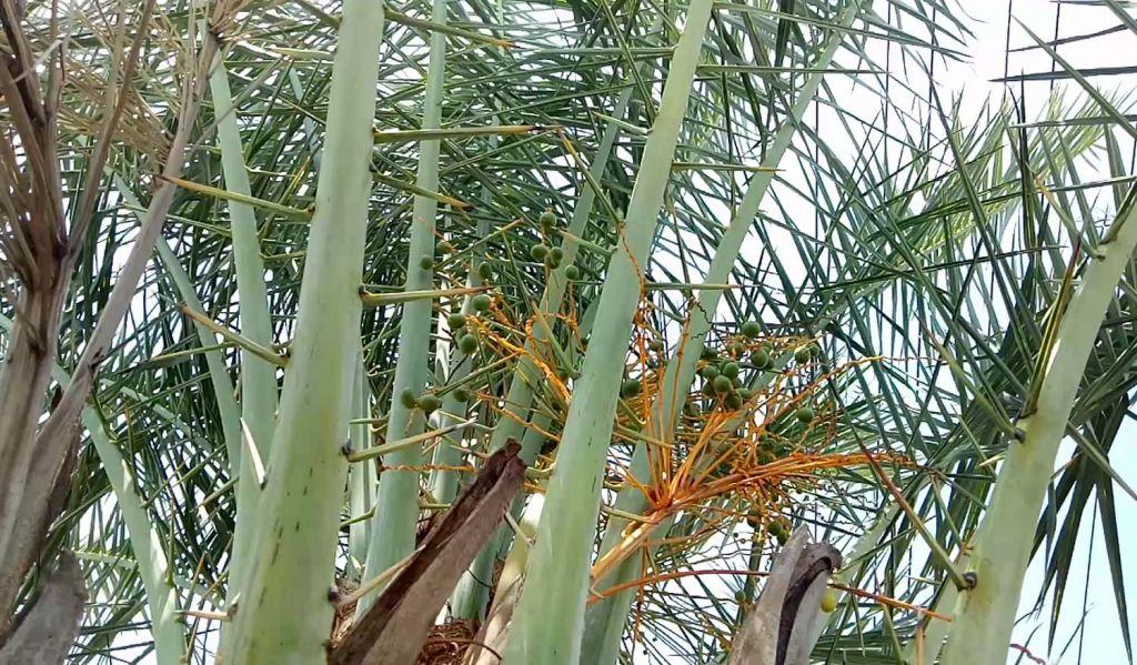 Pohon kurma di Pasuruan yang berbuah lebat