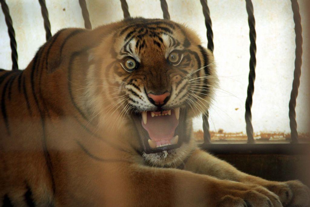 Raung, salah satu anak Bhaksi dari pasangan Gendis di Maharani Zoo Lamongan
