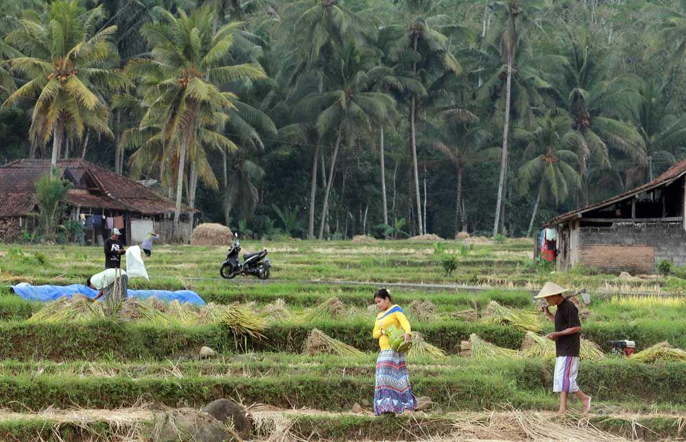 ILUSTRASI: LPG Sudah Menjadi Kebutuhan - Seorang warga di Trenggalek menyeberangi persawahan menuju pangkalan Pertamina untuk membeli gas LPG 3 Kg/ Foto: Budi Sugiharto-jatimnow.com