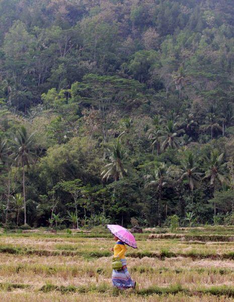ILUSTRASI: LPG Dibutuhkan Hingga Pelosok Pedesaan - Seorang warga di Trenggalek menyeberangi persawahan menuju pangkalan Pertamina untuk membeli gas LPG 3 Kg/ Foto: Budi Sugiharto-jatimnow.com