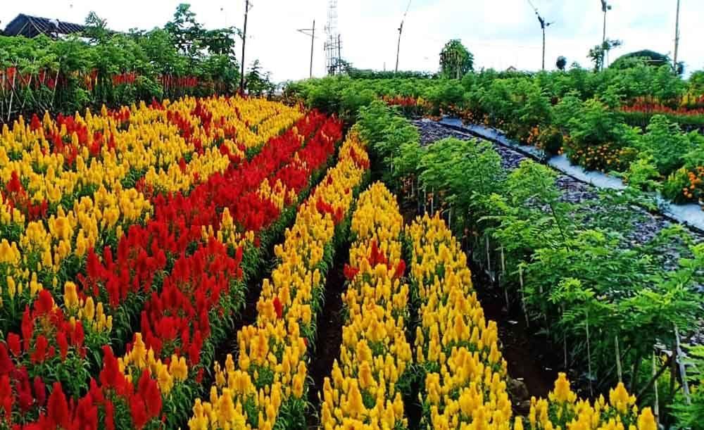 Banyuwangi Hadirkan Destinasi Wisata Kebun Bunga Yang